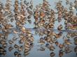 Pilritos-comuns e pilritos-de-bico-comprido