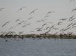 Chegada de um bando de flamingos às salinas