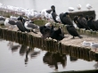 Corvos-marinhos