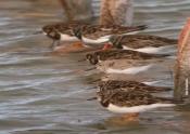 Curso de Iniciação à Observação de Aves Aquáticas