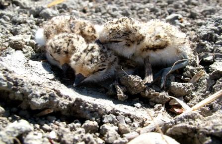 Crias de borrelho-de-coleira-interrompida